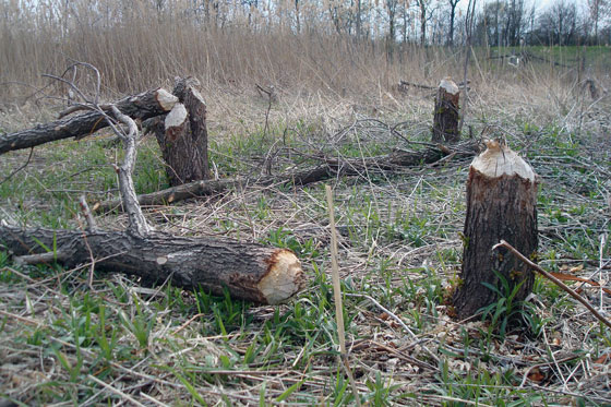Trees that have been cut by a beaver