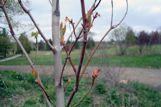 Close up of buds on our new maple tree