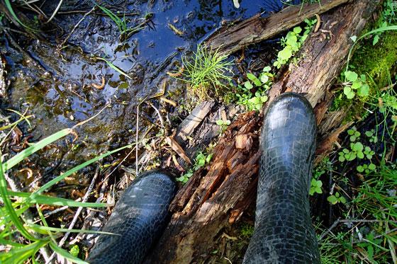 Crossing a stream by balancing on a log
