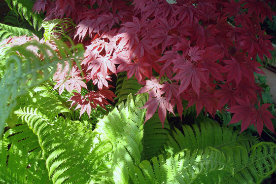 Red Japanese maple and green ferns