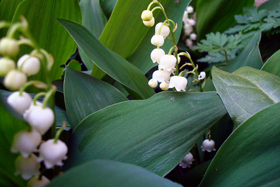 how to get rid of lily of the valley plants