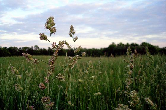 Hay growing in a field