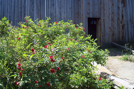Roses by the barn