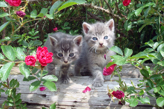 Kittens in the roses