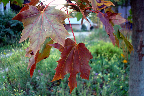 Maple leaves turning red