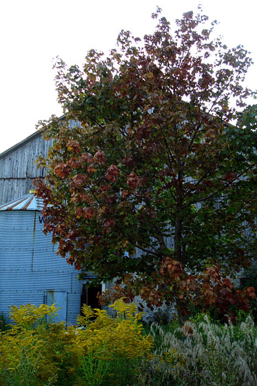 Maple tree changing colour in the fall