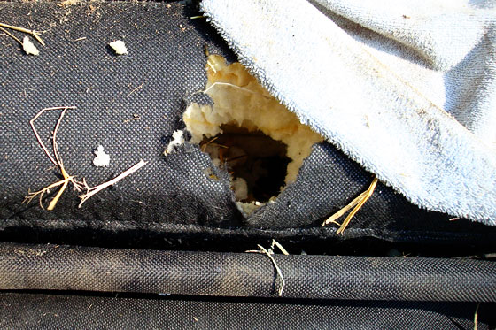 Mouse hole in a couch cushion