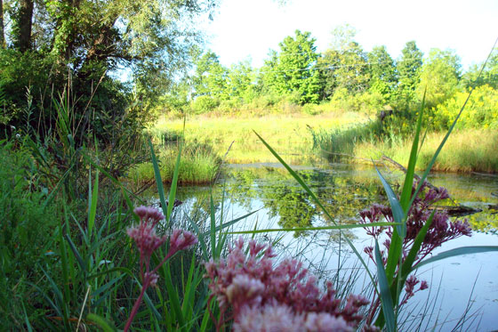Pink flowers by a pond