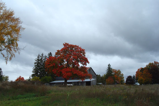 Red maple tree behind the barn