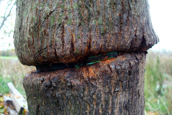 Deformed tree