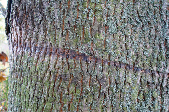 Dark rope line on tree bark