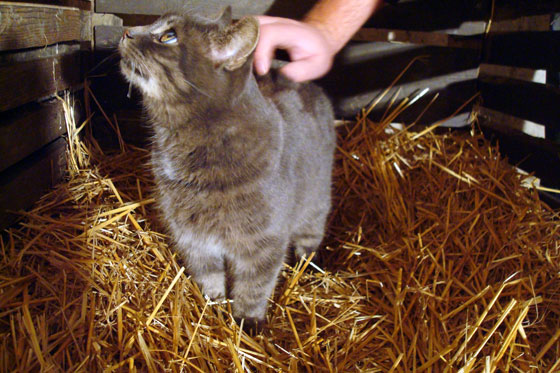 Cat in straw