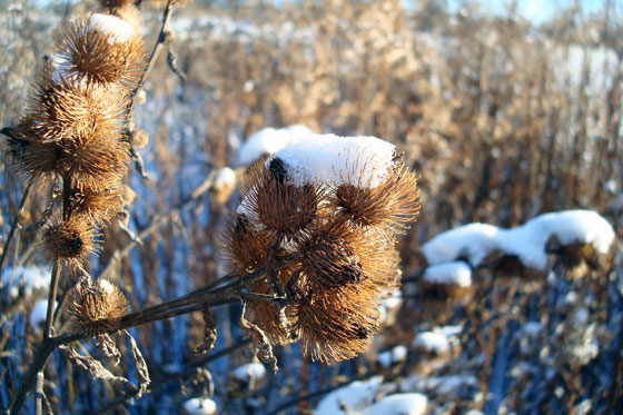 Snow covered burrs