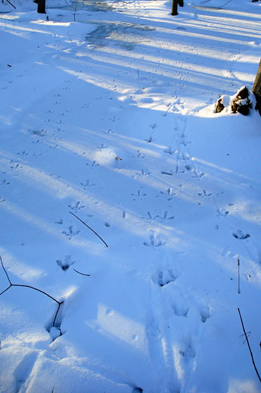 Turkey tracks in the frozen marsh