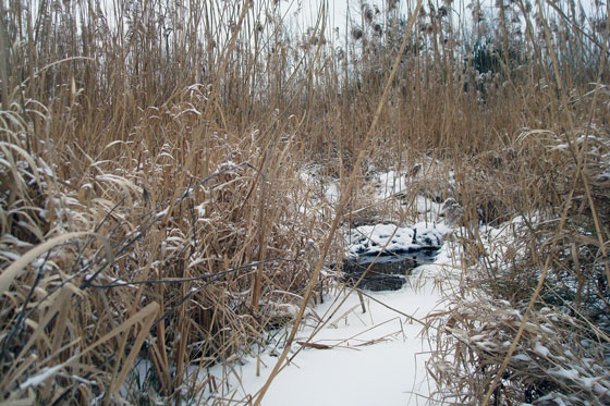 Marsh in the winter