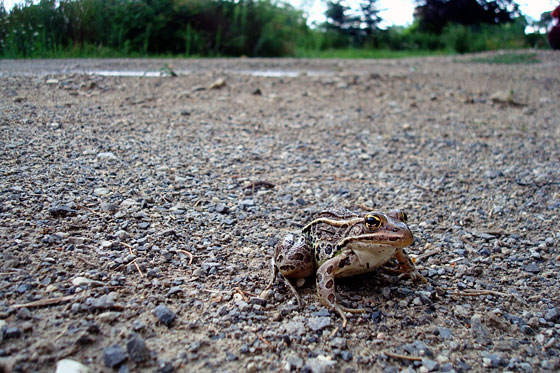 Frog on a gravel driveway