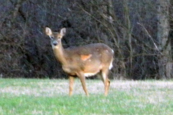 White tailed deer in molt