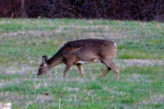 White tailed deer grazing