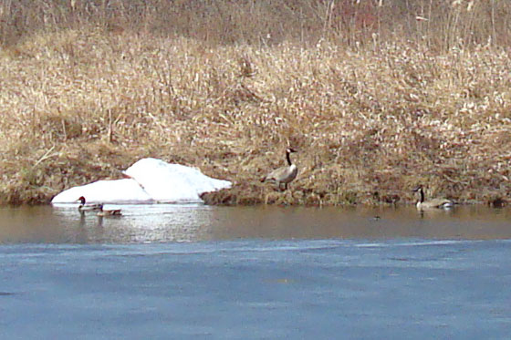 Mallard ducks and Canada Geese swimming on a melting pond