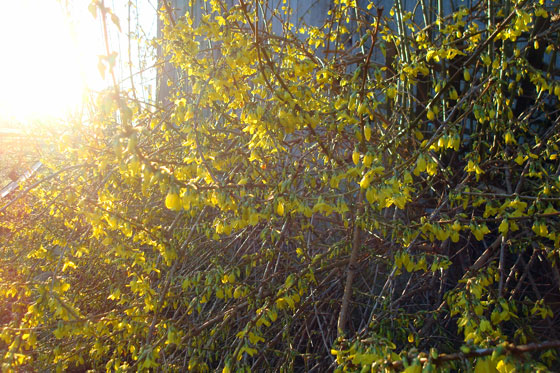 Forsythia at sunrise