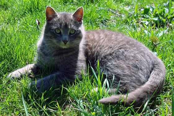 Grey kitten on green grass