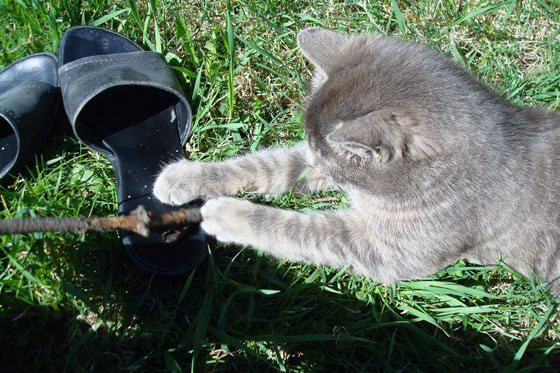 Kitten playing with a stick