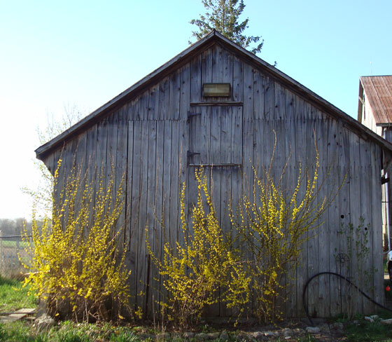 Forsythia in bloom in front of a weathered barn