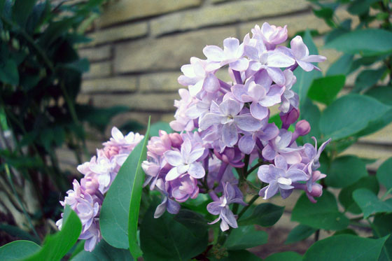 Double French light purple lilac