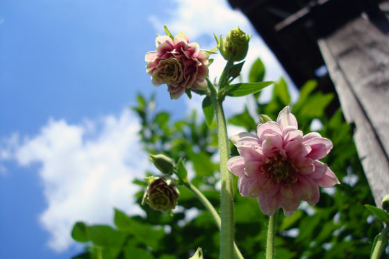 Pink flowers against a blue sky