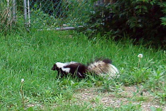 Skunk through green grass