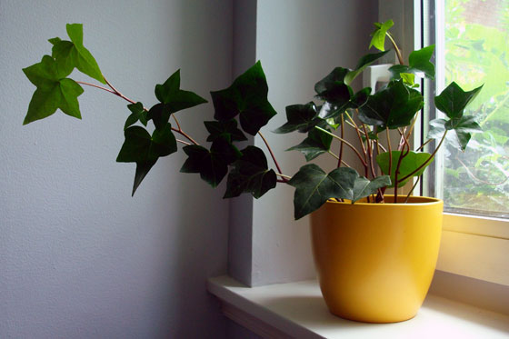 Yellow pot with ivy in it on a windowsill