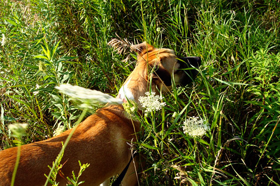 Baxter sniffing in the long grass