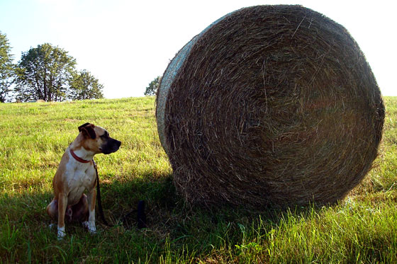 Baxter inspecting a big round hay bale