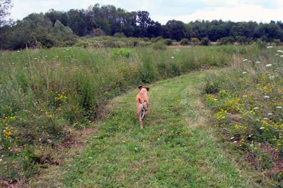 Baxter walking off leash in the field