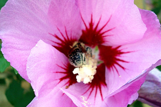 Bee pollinating Rose of Sharon flower