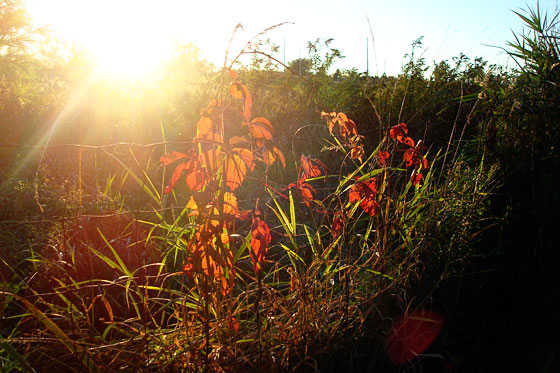 Red vine on a wire fence with sun setting in the background