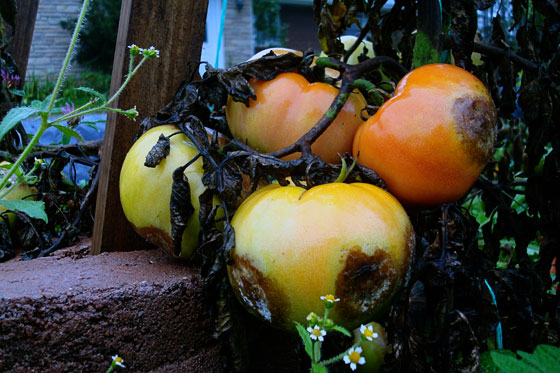 Rotting tomatoes