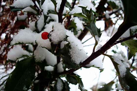 Red berry on a snowy holly bush