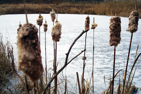 Fuzzy cattails on the shore of a frozen pond