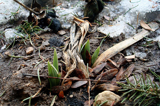 Iris sprouting in the spring