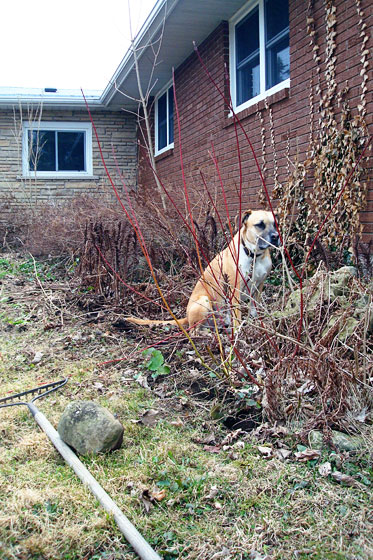 Baxter in the weedy front flowerbed