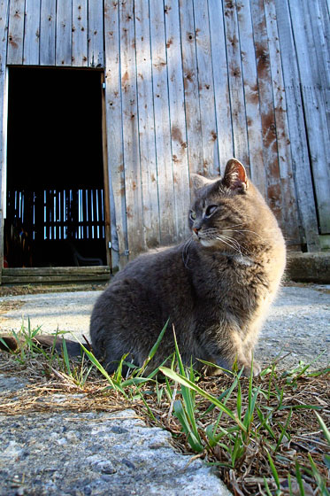 Ralph the barn cat