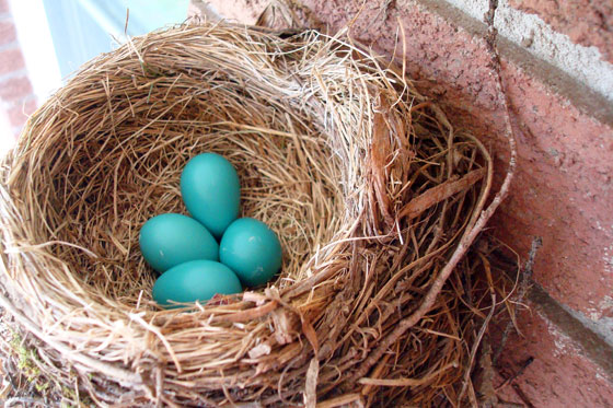Blue eggs in a robin nest