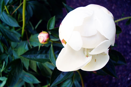 White peony bud