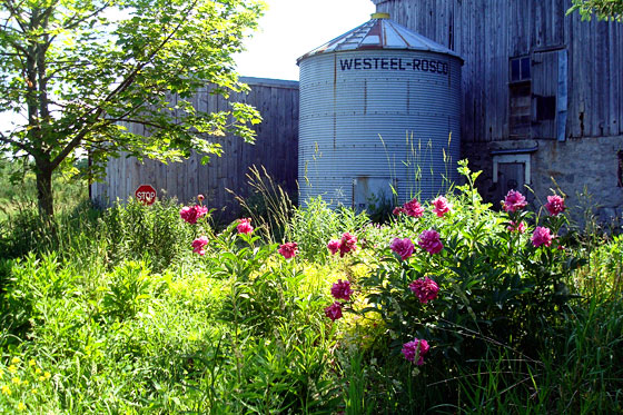 Bright pink peonies in front of a steel silo and old barn