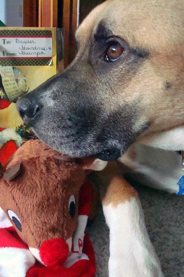 Baxter at Christmas