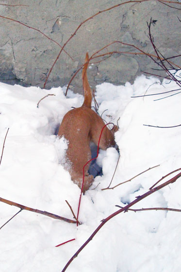 Baxter digging in the snow