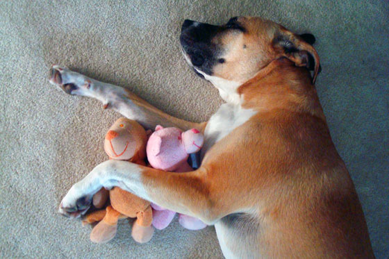 Baxter with his stuffies