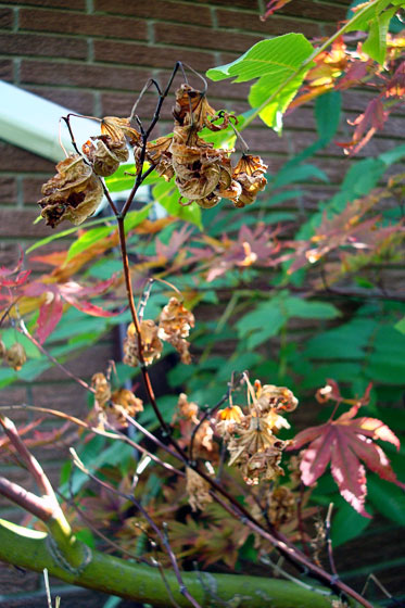 Dying leaves on my Japanese maple