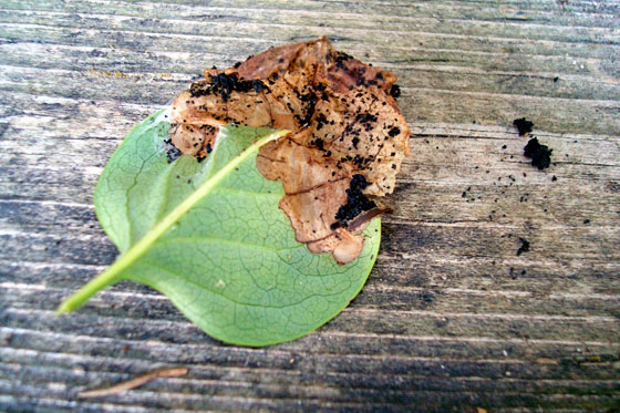 Blight on lilac leaves